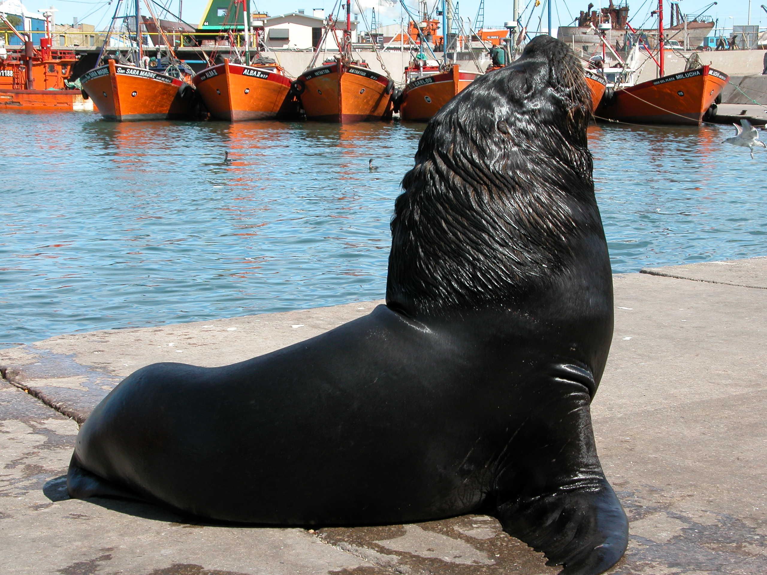 Mar del Plata: liberan hoy a cinco lobos marinos